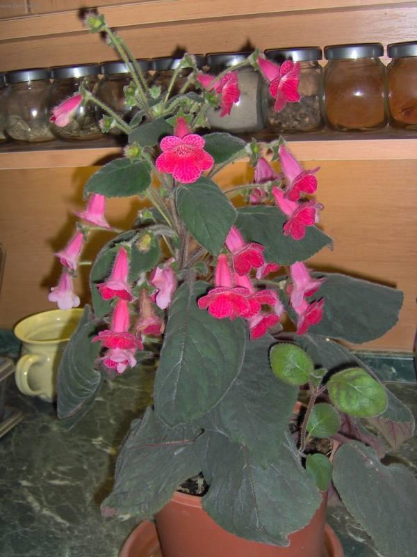 Бархатные цветы комнатные